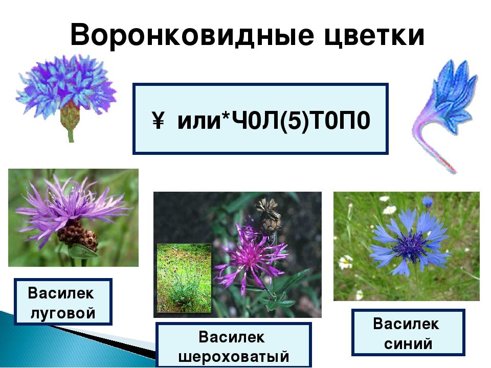 Воронковидные цветки ↑ или*Ч0Л(5)Т0П0 Василек шероховатый Василек луговой Вас...