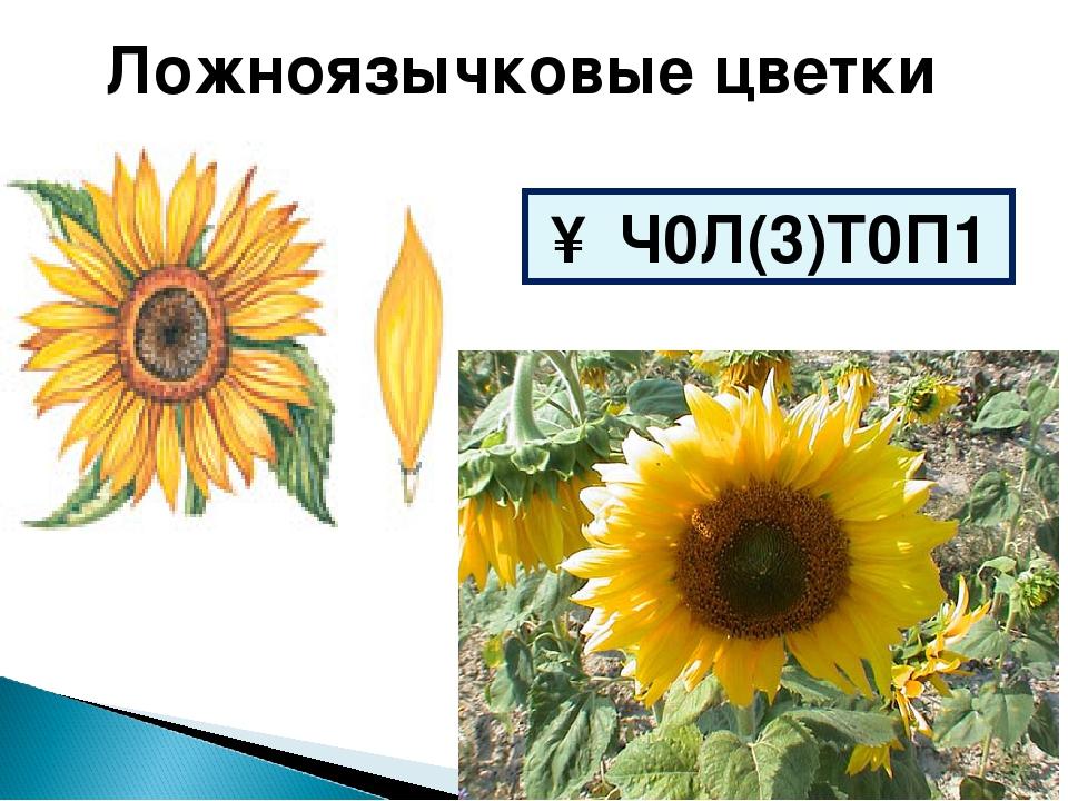 Ложноязычковые цветки ↑ Ч0Л(3)Т0П1
