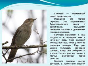 Соловей — знаменитый певец наших лесов. Окрашена эта птичка скромно. Она ко