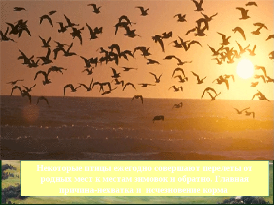 Некоторые птицы ежегодно совершают перелеты от родных мест к местам зимовок и...