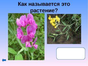 Что объединяет эти растения семейства сложноцветных? Это лекарственные расте