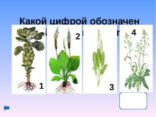 КоролеваФранции Мария Медичи это растение употребляла при своих нередких де