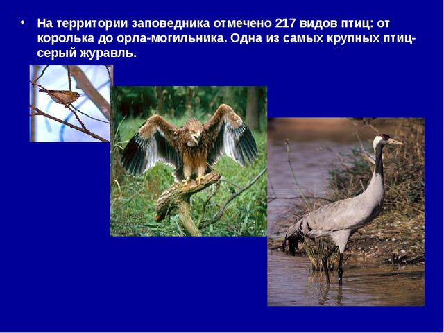 На территории заповедника отмечено 217 видов птиц: от королька до орла-могиль...
