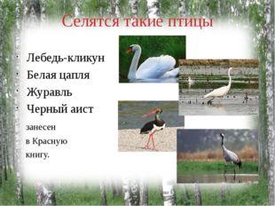Селятся такие птицы Лебедь-кликун Белая цапля Журавль Черный аист занесен в К