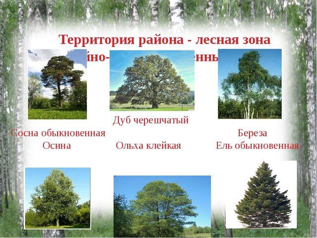 Территория района - лесная зона хвойно- мелколиственных лесов Дуб черешчатый...