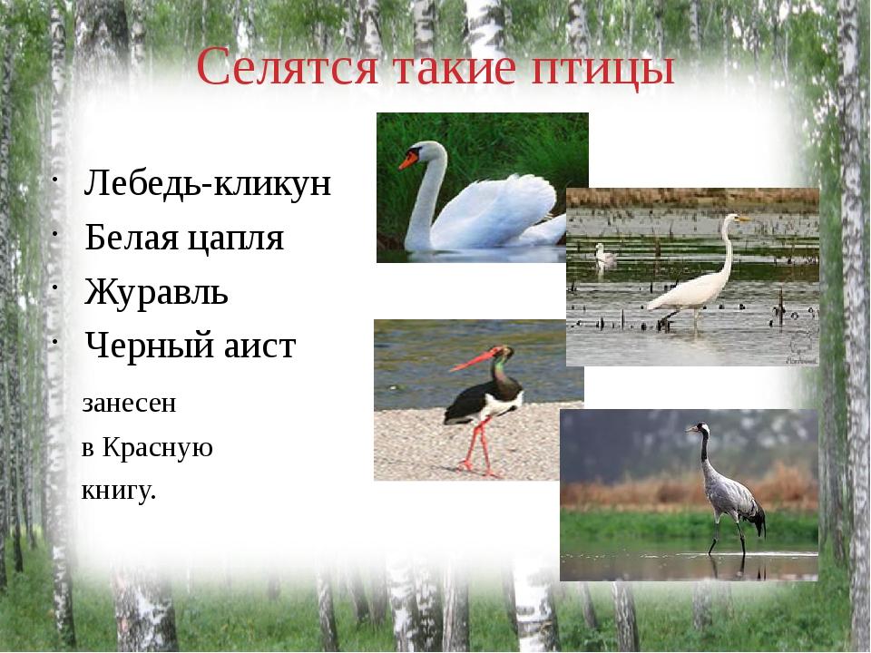 Селятся такие птицы Лебедь-кликун Белая цапля Журавль Черный аист занесен в К...
