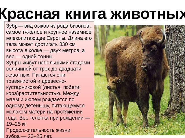 Красная книга животных Зубр— вид быков из рода бизонов, самое тяжёлое и крупн...
