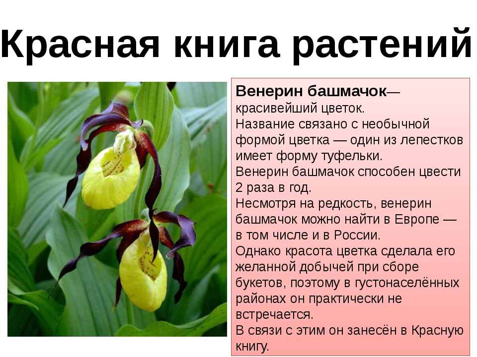 Красная книга растений Венерин башмачок— красивейший цветок. Название связано...