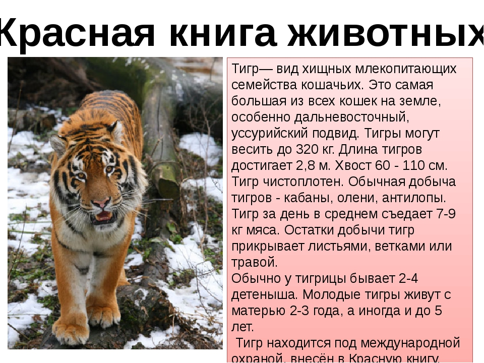 Красная книга животных Тигр— вид хищных млекопитающих семейства кошачьих. Это...