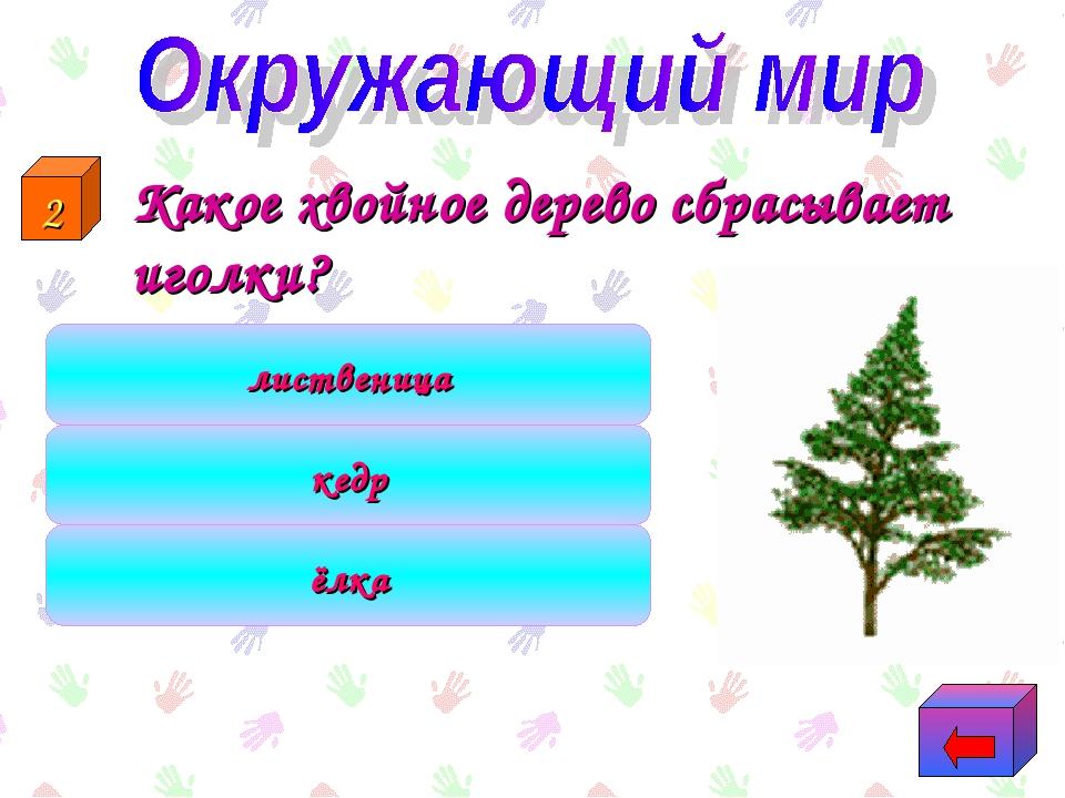 Какое хвойное дерево сбрасывает иголки? лиственица ёлка кедр 2