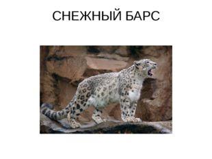 СНЕЖНЫЙ БАРС