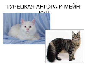 ТУРЕЦКАЯ АНГОРА И МЕЙН-КУН