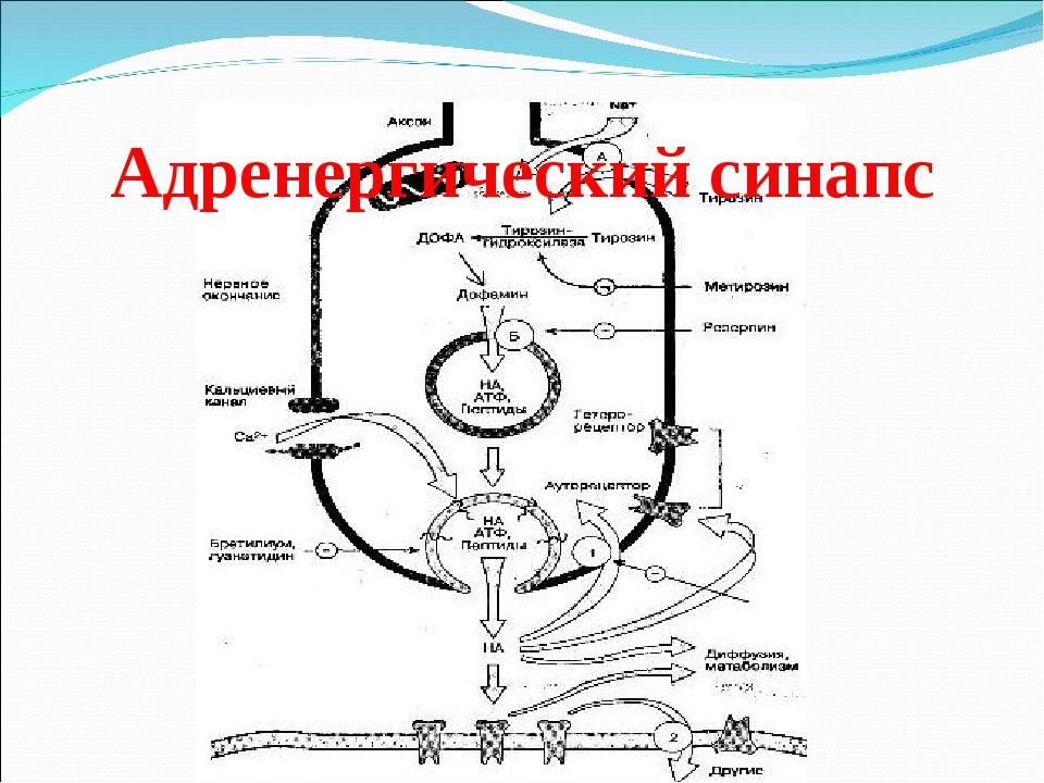 Адренергический синапс