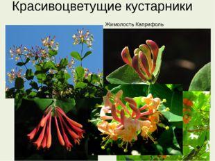 Красивоцветущие кустарники Жимолость Каприфоль