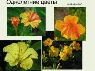 Однолетние цветы МИРАБИЛИС