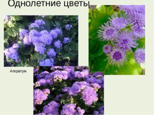 Однолетние цветы Агератум