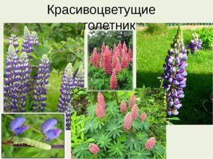 Красивоцветущие многолетники люпины