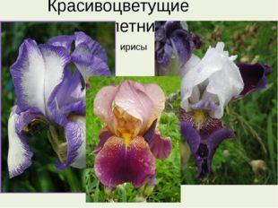 Красивоцветущие многолетники ирисы