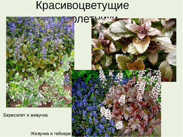 Красивоцветущие многолетники Бересклет и живучка Живучка и гейхера