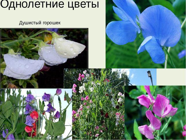 Однолетние цветы Душистый горошек