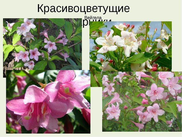 Красивоцветущие кустарники Вейгела