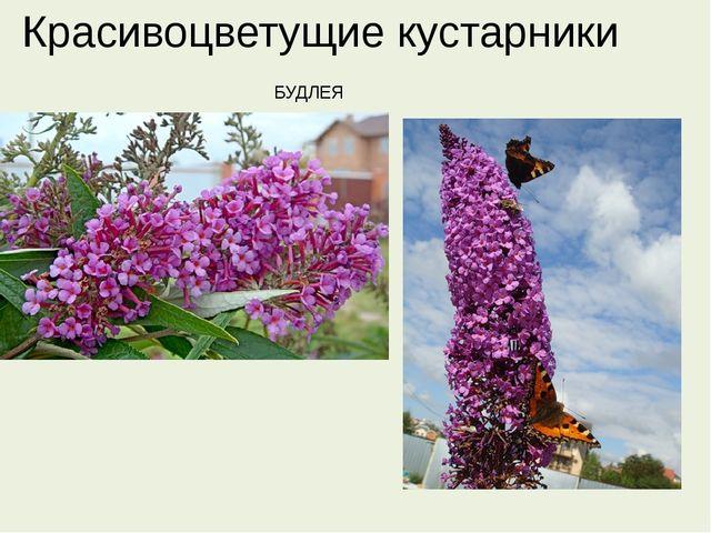 Красивоцветущие кустарники БУДЛЕЯ