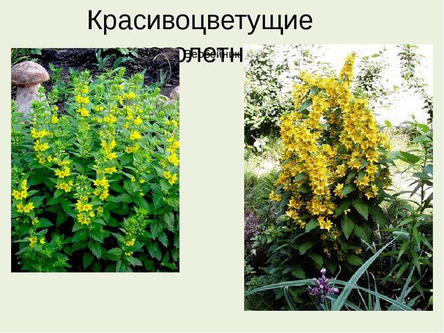Красивоцветущие многолетники Вербейник