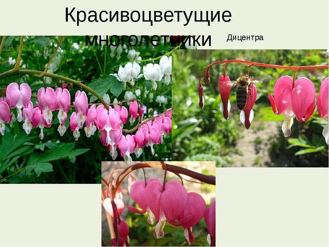 Красивоцветущие многолетники Дицентра