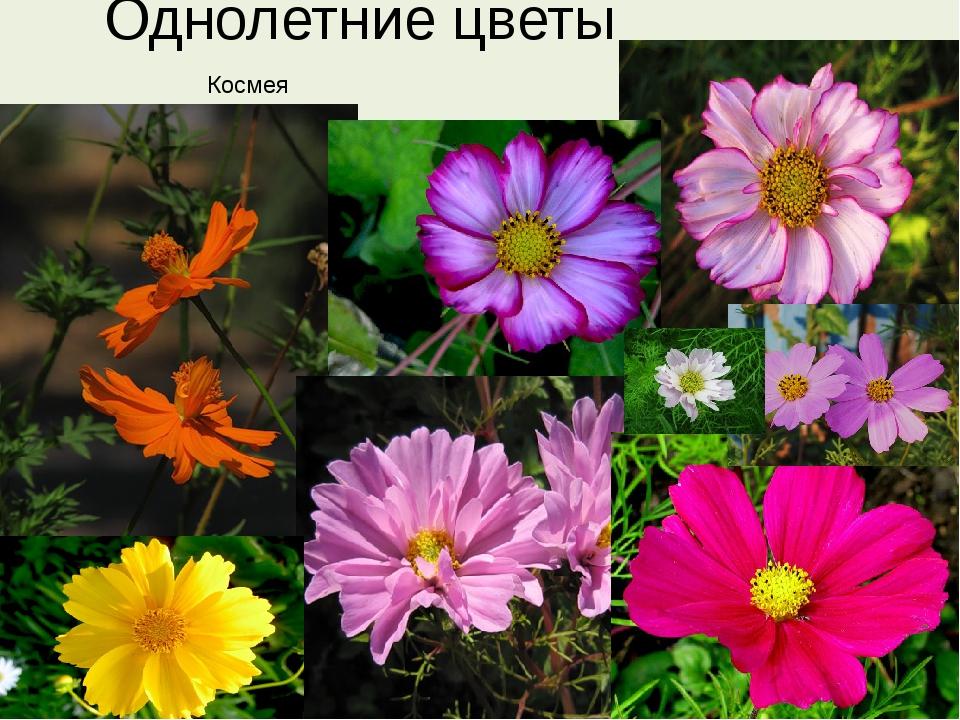 Однолетние цветы Космея