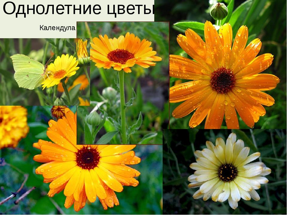 Однолетние цветы Календула
