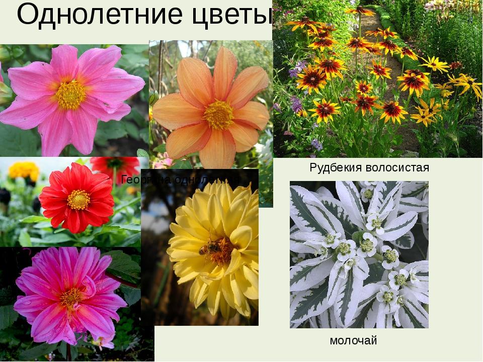 Однолетние цветы Георгина однолетняя Рудбекия волосистая молочай