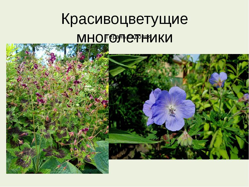 Красивоцветущие многолетники Герань садовая