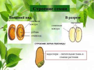 Строение семян семенная кожура рубчик семявход Внешний вид В разрезе семенная