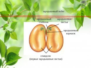 семядоли (первые зародышевые листья) зародышевый стебелек зародышевые листья