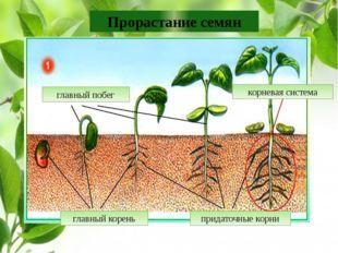 Прорастание семян главный корень придаточные корни корневая система главный п