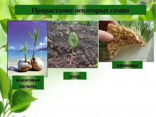 Прорастание некоторых семян кокосовая пальма кедр пшеница