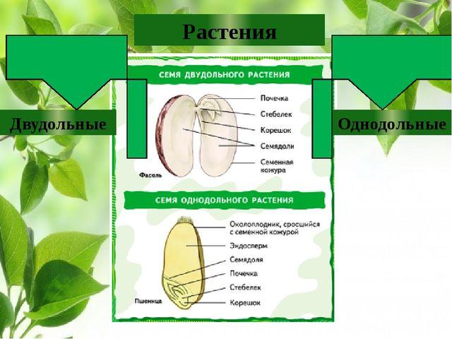 Растения Двудольные Однодольные