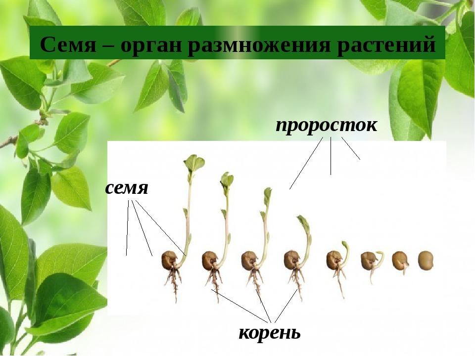 Семя – орган размножения растений семя корень проросток