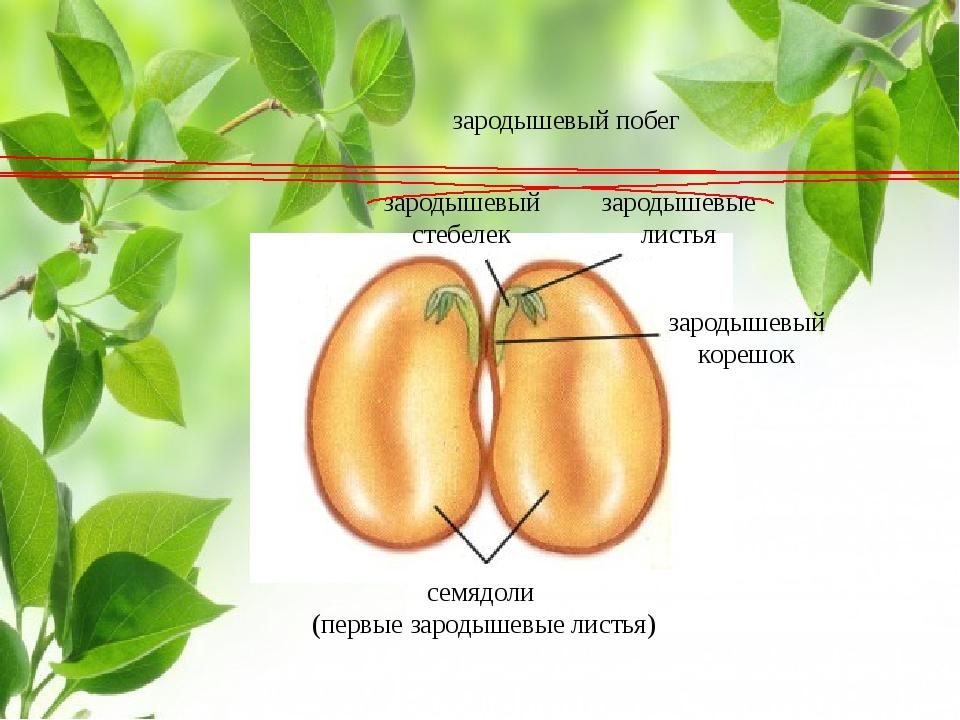 семядоли (первые зародышевые листья) зародышевый стебелек зародышевые листья...