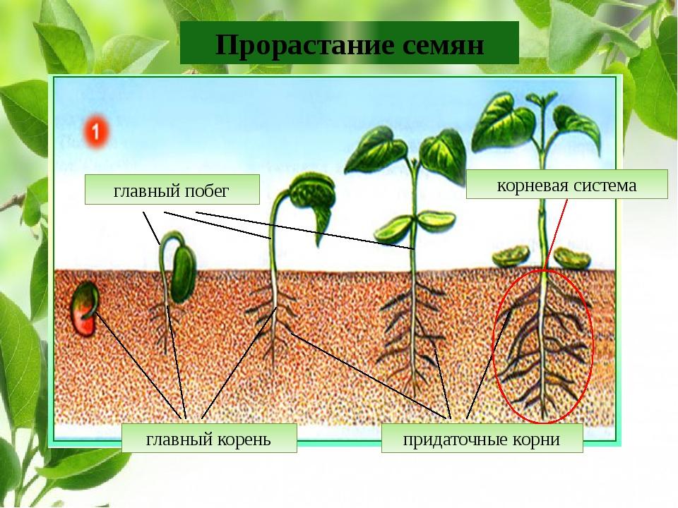 Прорастание семян главный корень придаточные корни корневая система главный п...