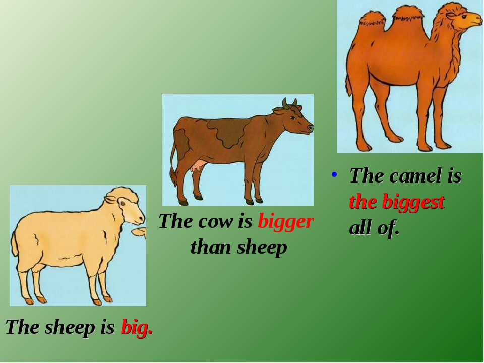 The sheep is big. The camel is the biggest all of. The cow is bigger than sh...