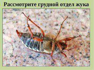 Рассмотрите грудной отдел жука