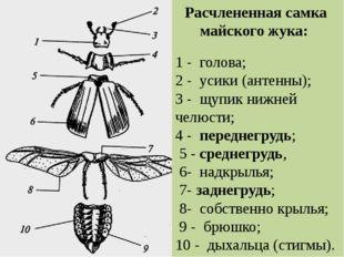 1 - голова; 2 - усики (антенны); 3 - щупик нижней челюсти; 4 - переднегрудь;