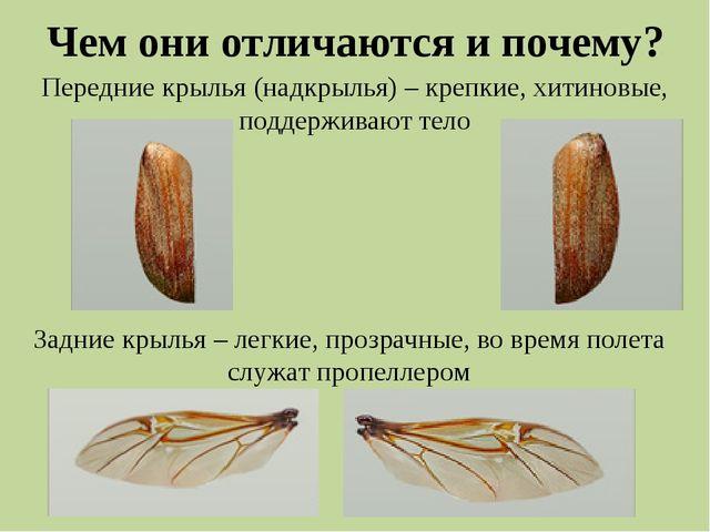 Чем они отличаются и почему? Передние крылья (надкрылья) – крепкие, хитиновые...