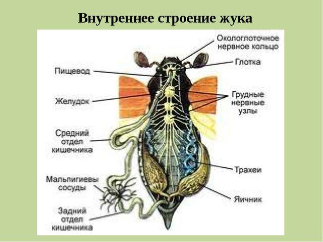 Внутреннее строение жука