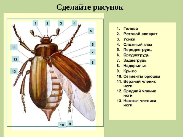 Лабораторная работа по биологии про майского жука 8 класс