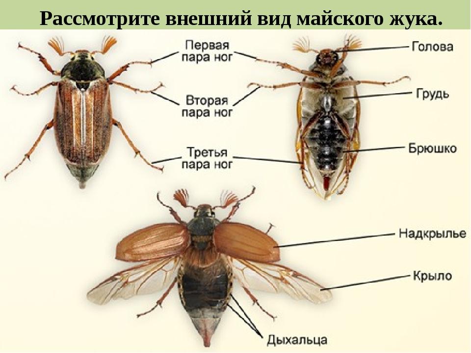 Рассмотрите внешний вид майского жука.