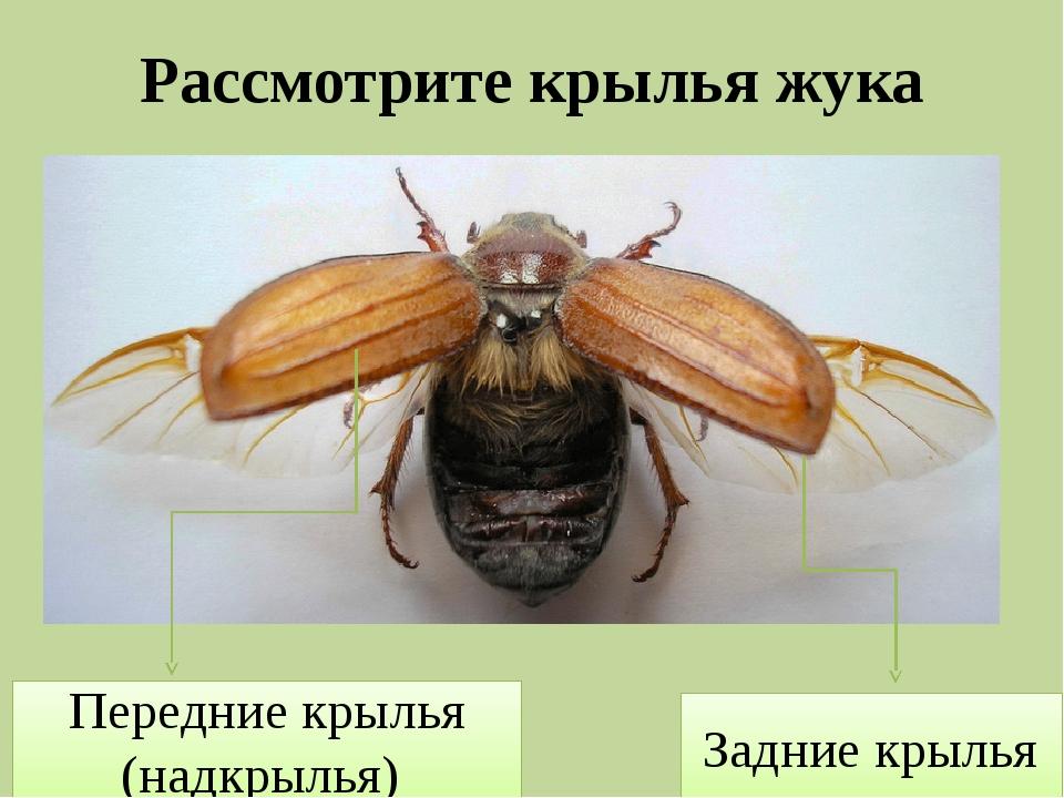 Рассмотрите крылья жука Передние крылья (надкрылья) Задние крылья