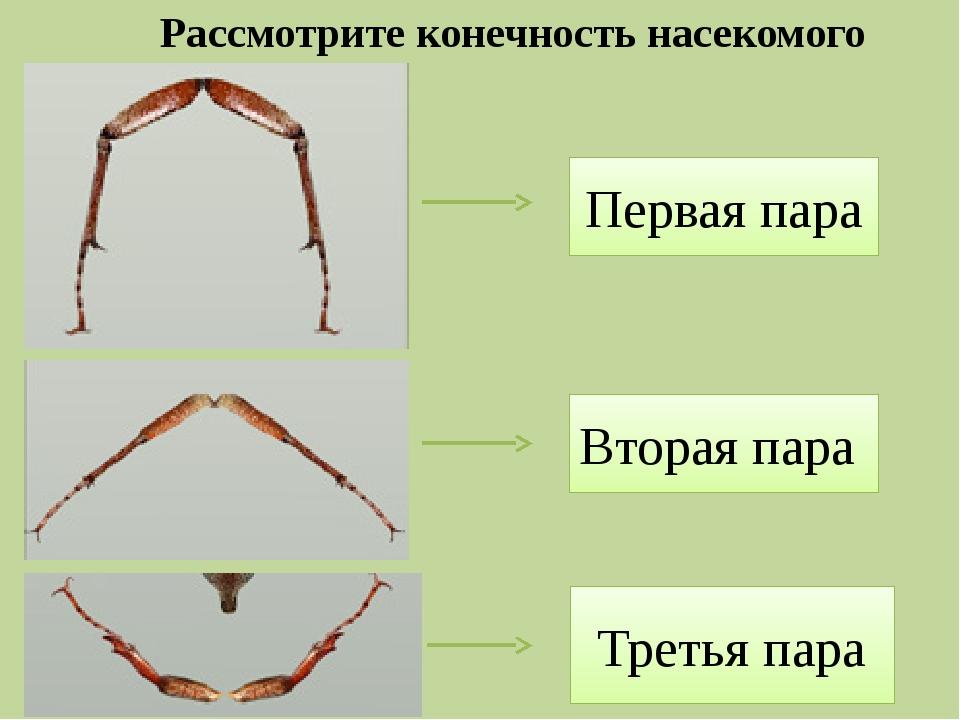 Рассмотрите конечность насекомого Вторая пара Первая пара Третья пара