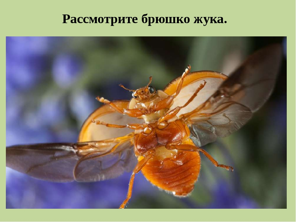 Рассмотрите брюшко жука.